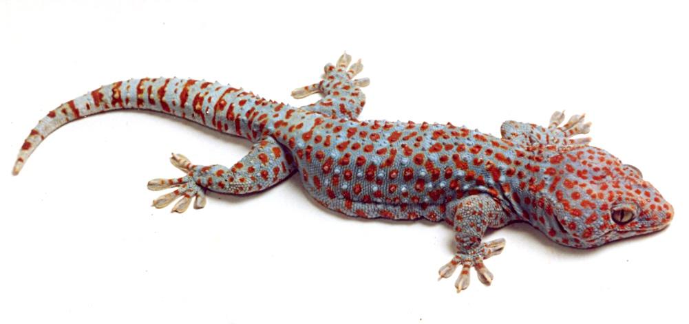 http://animalsholding.cz/produkty_fotogalerie/gekko_gecko0002.jpg