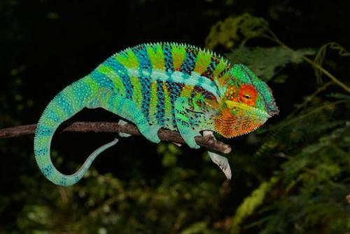 http://animalsholding.cz/produkty_img/chameleon-pardali1516111466L.jpg