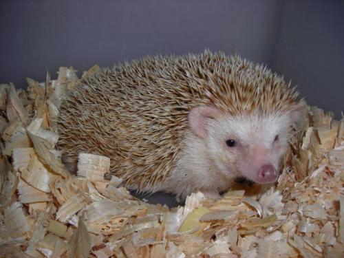 http://animalsholding.cz/produkty_img/jezek-belobrichy1519431997L.jpg