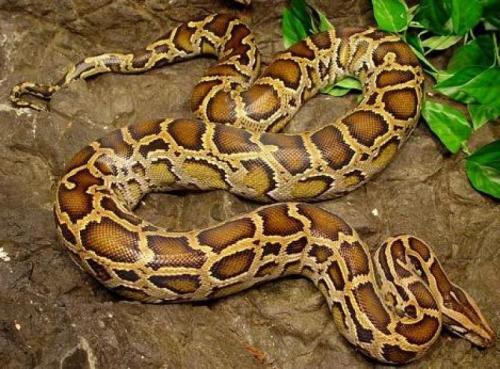 http://animalsholding.cz/produkty_img/krajta-tmava1520420196L.jpg