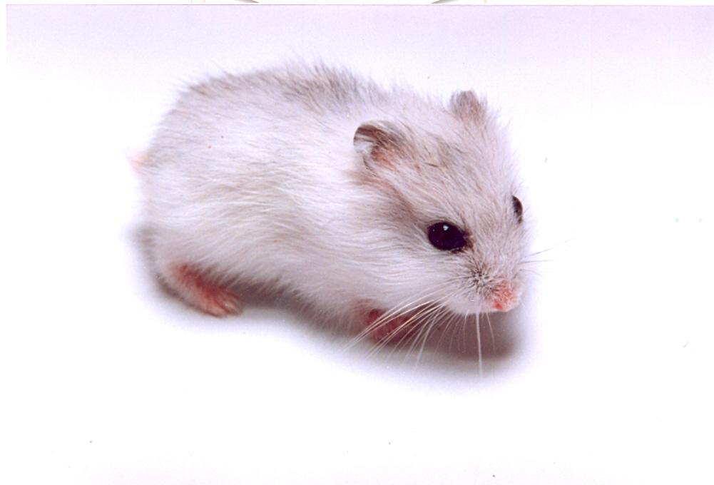 http://animalsholding.cz/produkty_img/x_krecik_dzungarsky0001.jpg
