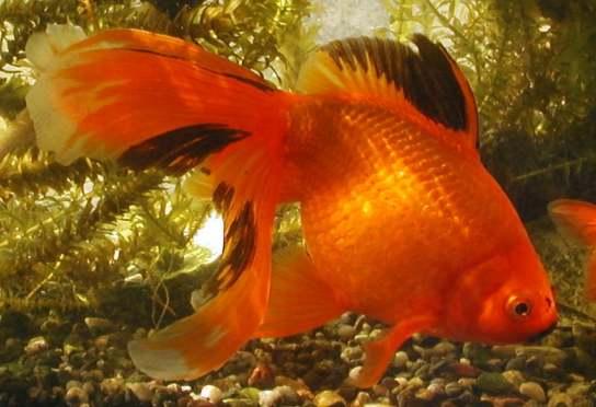 Závojnatka (oranžová)