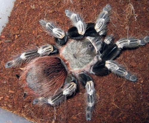 http://animalsholding.cz/produkty_img/sklipkan-nhandu-chromatus1520501123L.jpg