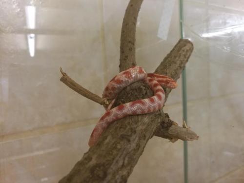 Užovka èervená albín