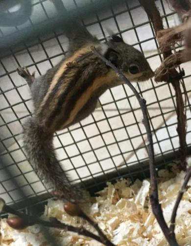 http://animalsholding.cz/produkty_img/veverka-pruhovana1552649158L.jpg
