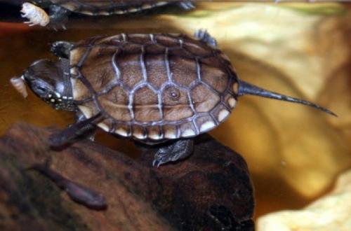 Želva trojkýlná